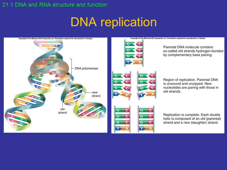 DNA replication 21.1 DNA and RNA structure and function