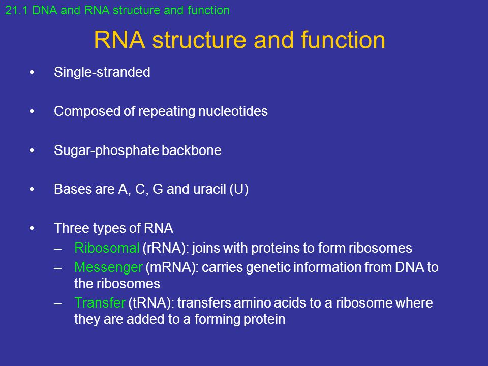 RNA structure and function Single-stranded Composed of repeating nucleotides Sugar-phosphate backbone Bases are A, C, G and uracil (U) Three types of RNA –Ribosomal (rRNA): joins with proteins to form ribosomes –Messenger (mRNA): carries genetic information from DNA to the ribosomes –Transfer (tRNA): transfers amino acids to a ribosome where they are added to a forming protein 21.1 DNA and RNA structure and function