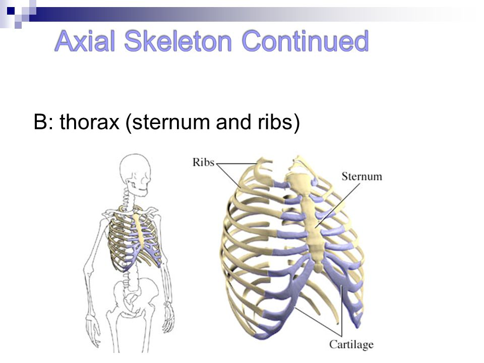 B: thorax (sternum and ribs)