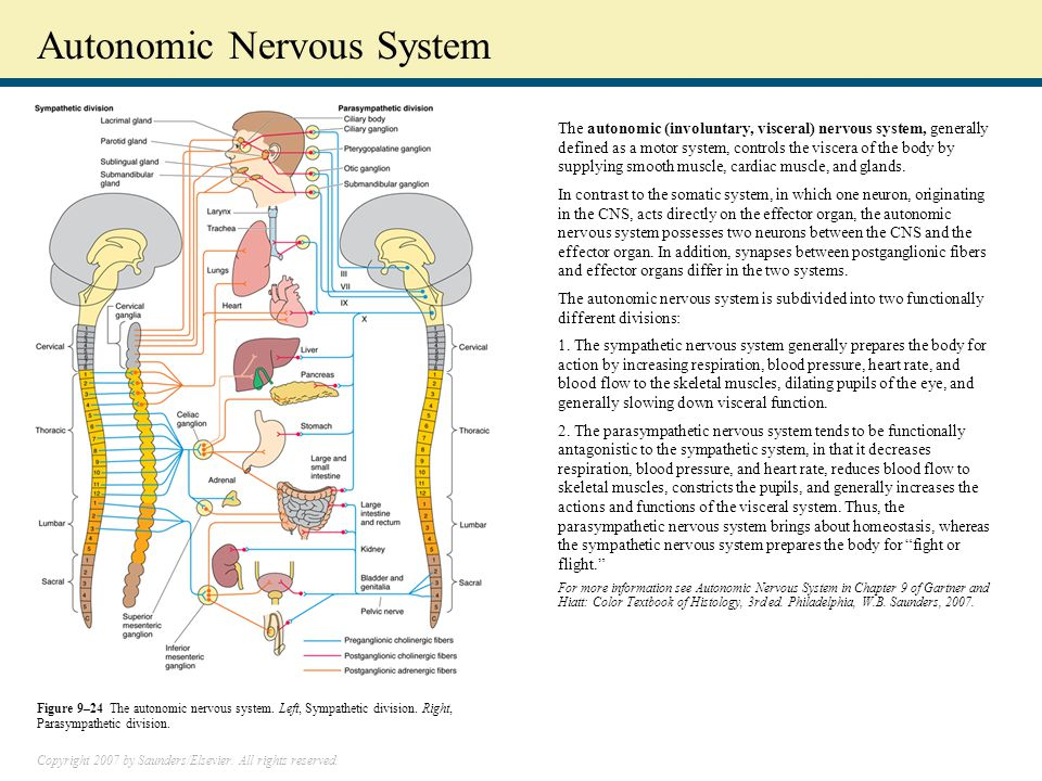 Copyright 2007 by Saunders/Elsevier. All rights reserved. Autonomic Nervous System The autonomic (involuntary, visceral) nervous system, generally def