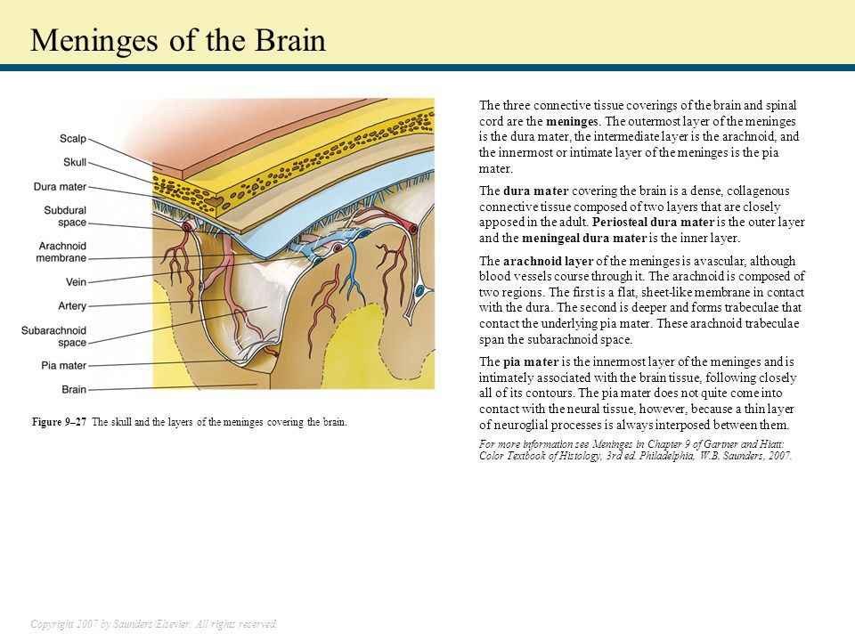 Copyright 2007 by Saunders/Elsevier. All rights reserved. Meninges of the Brain The three connective tissue coverings of the brain and spinal cord are