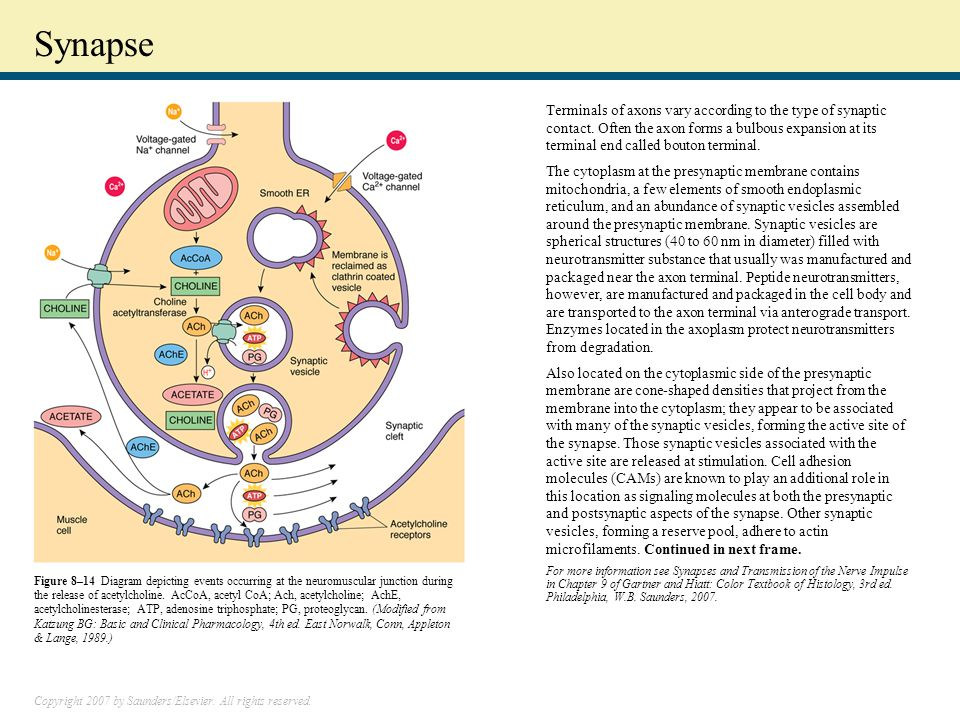 Copyright 2007 by Saunders/Elsevier. All rights reserved. Synapse Terminals of axons vary according to the type of synaptic contact. Often the axon fo