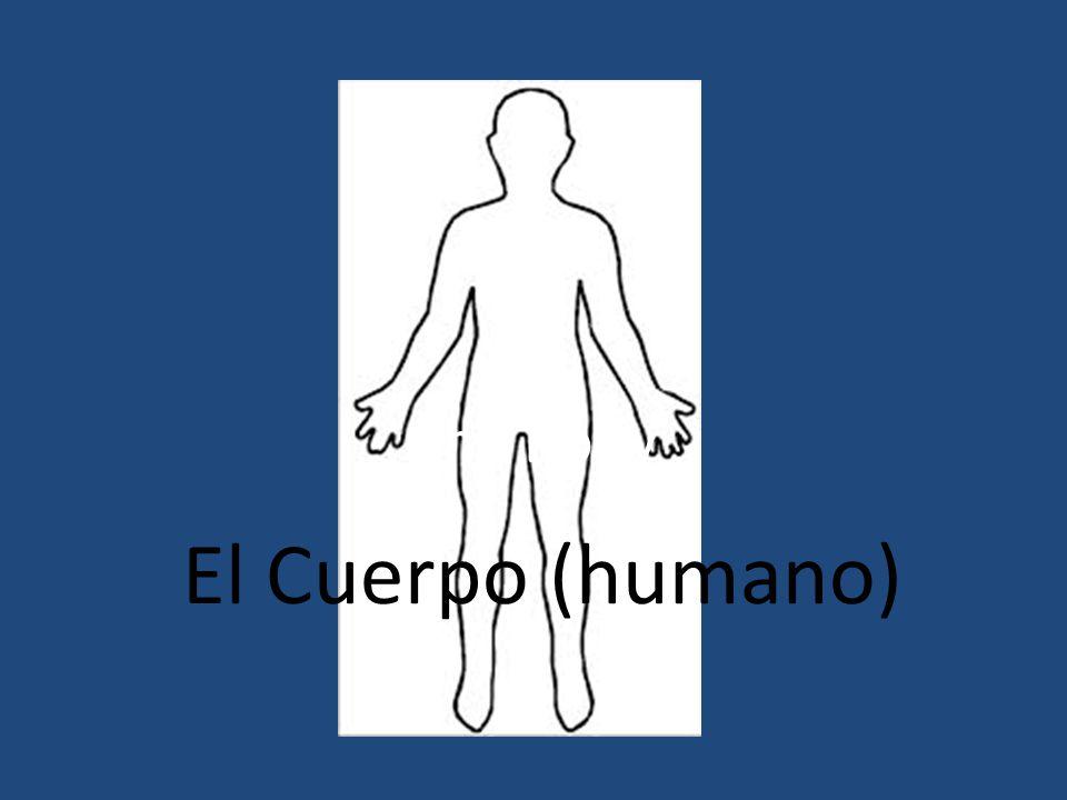 El Cuerpo (humano) The Body