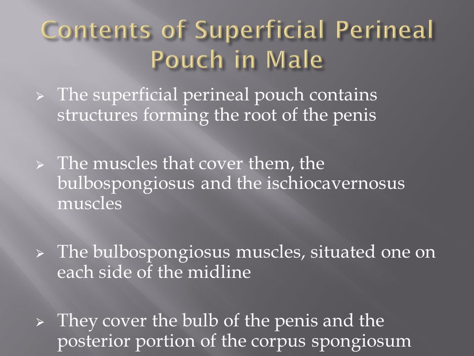  The superficial perineal pouch contains structures forming the root of the penis  The muscles that cover them, the bulbospongiosus and the ischiocavernosus muscles  The bulbospongiosus muscles, situated one on each side of the midline  They cover the bulb of the penis and the posterior portion of the corpus spongiosum