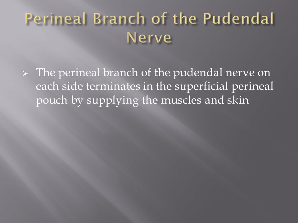  The perineal branch of the pudendal nerve on each side terminates in the superficial perineal pouch by supplying the muscles and skin