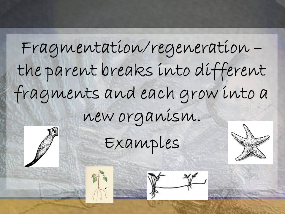 Fragmentation/regeneration – the parent breaks into different fragments and each grow into a new organism.