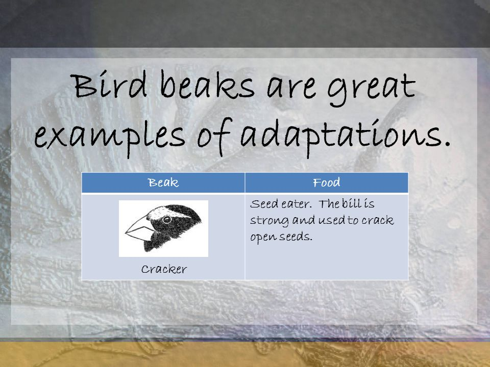 Bird beaks are great examples of adaptations.BeakFood Cracker Seed eater.