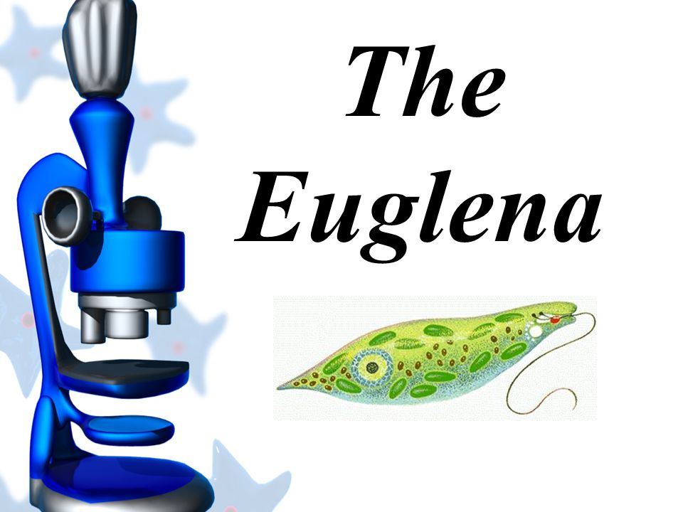The Euglena is green. It is primarily a producer, but can be a consumer.