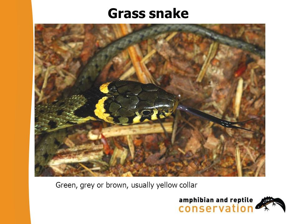 Grass snake Green, grey or brown, usually yellow collar