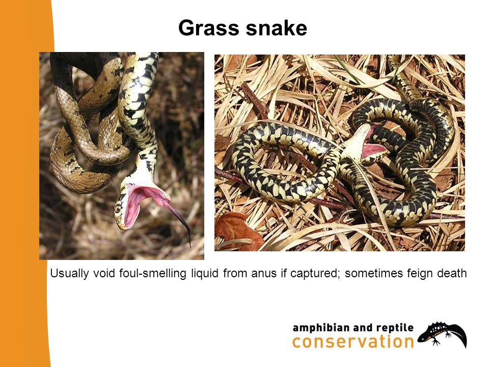 Grass snake Usually void foul-smelling liquid from anus if captured; sometimes feign death