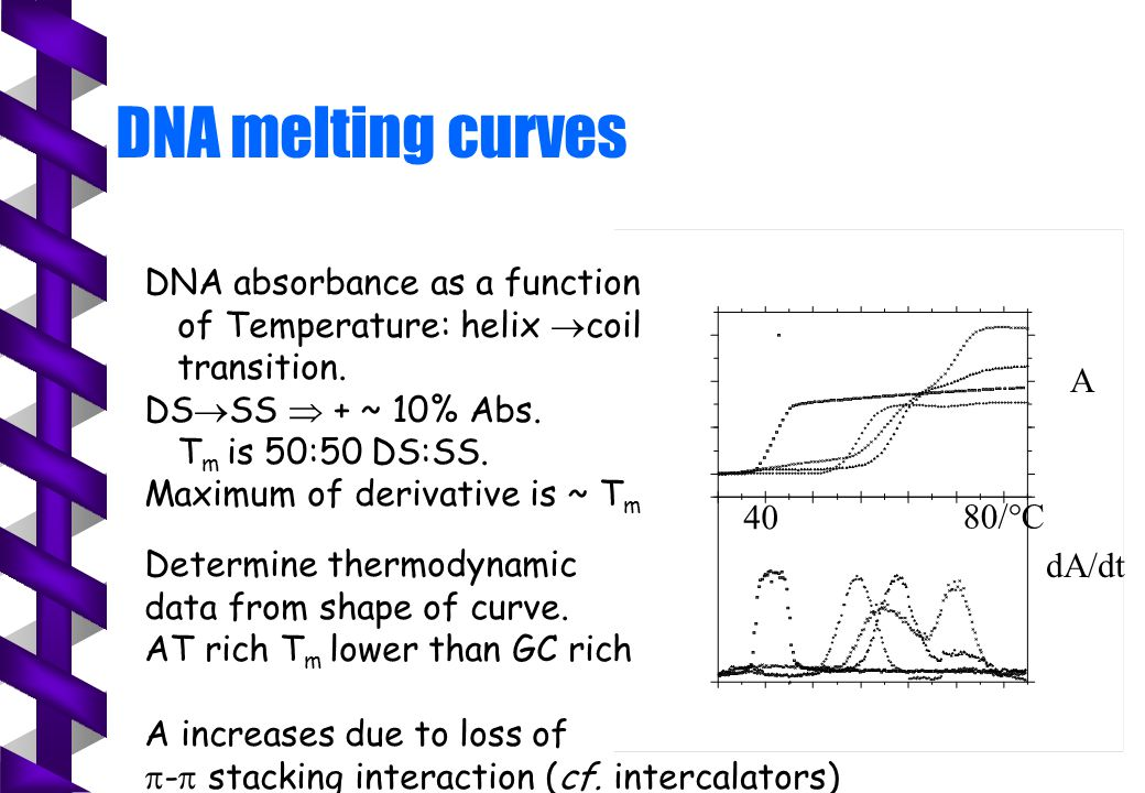 DNA melting curves A 40 80/  C dA/dt DNA absorbance as a function of Temperature: helix  coil transition. DS  SS  + ~ 10% Abs. T m is 50:50 DS:SS.