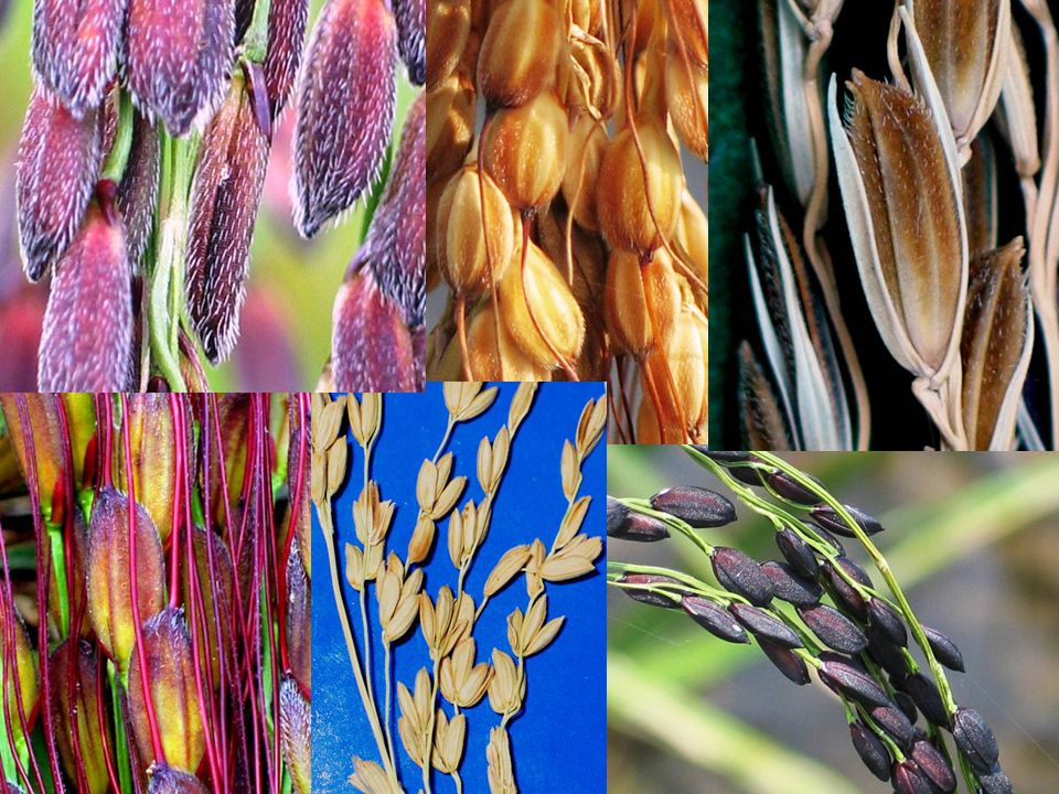 23 May 2011 Rice research to production: genetic resources 3 You can find diversity in rice for almost any conceivable trait