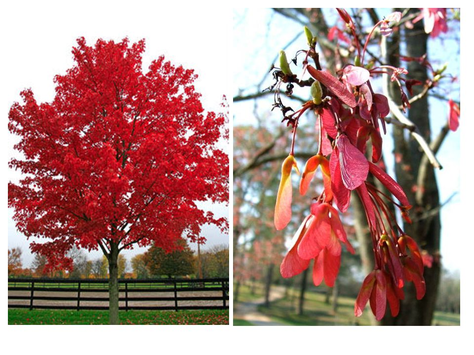 Flower Color: Red Cluster (Spring) Root: Fibrous Fruit: Brown (Fall) Environment: Part Shade-Sun Growth: Rapid Zones: 3-9