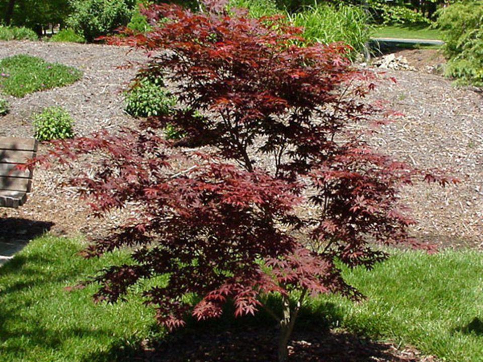 Acer Palmatum Common Name: Japanese Maple Family: Araceae Native: Japan