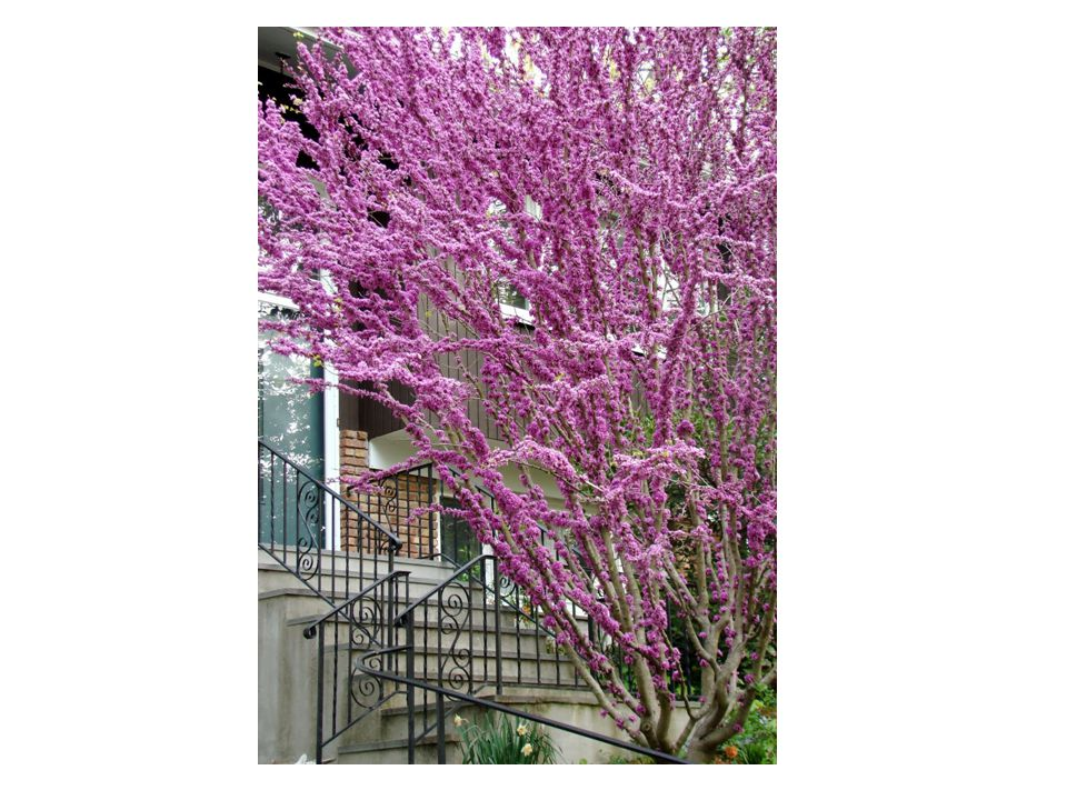 Cercis canadensis Common Name: Eastern Redbud Family: Fabaceae Native: New Jersey to Florida