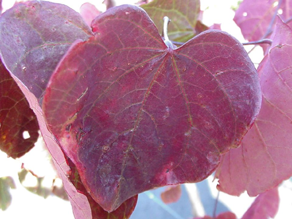 Life Cycle: Deciduous Classification: Small Tree Leaf Arrangement: Opposite Leaf Shape: Cordate Leaf Margin: Entire Vein Pattern: Palmate Leaf Type: Simple