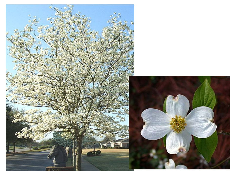 Cornus florida Common Name: Flowering Dogwood Family: Cornaceae Native
