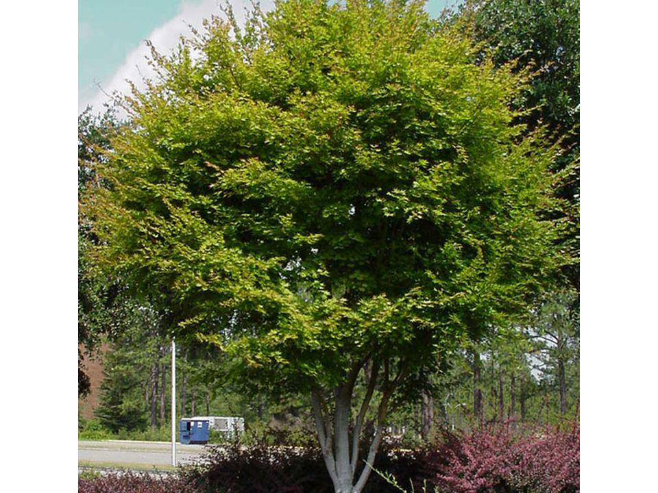 Life Cycle: Deciduous Classification: Tree Leaf Arrangement: Opposite Leaf Shape: Star Lear Margin: Serrate & Lobed Vein Pattern: Palmate Leaf Type: Simple