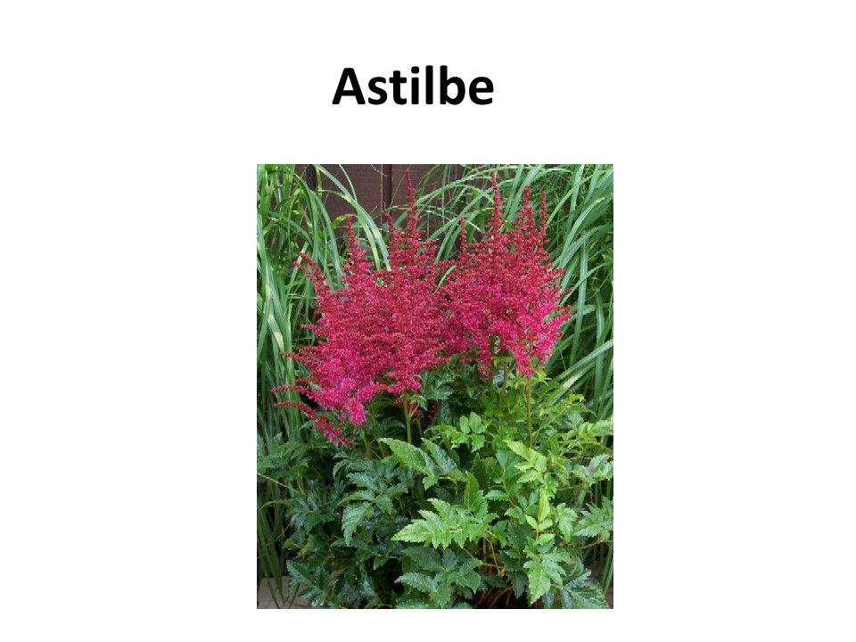 Astilbe