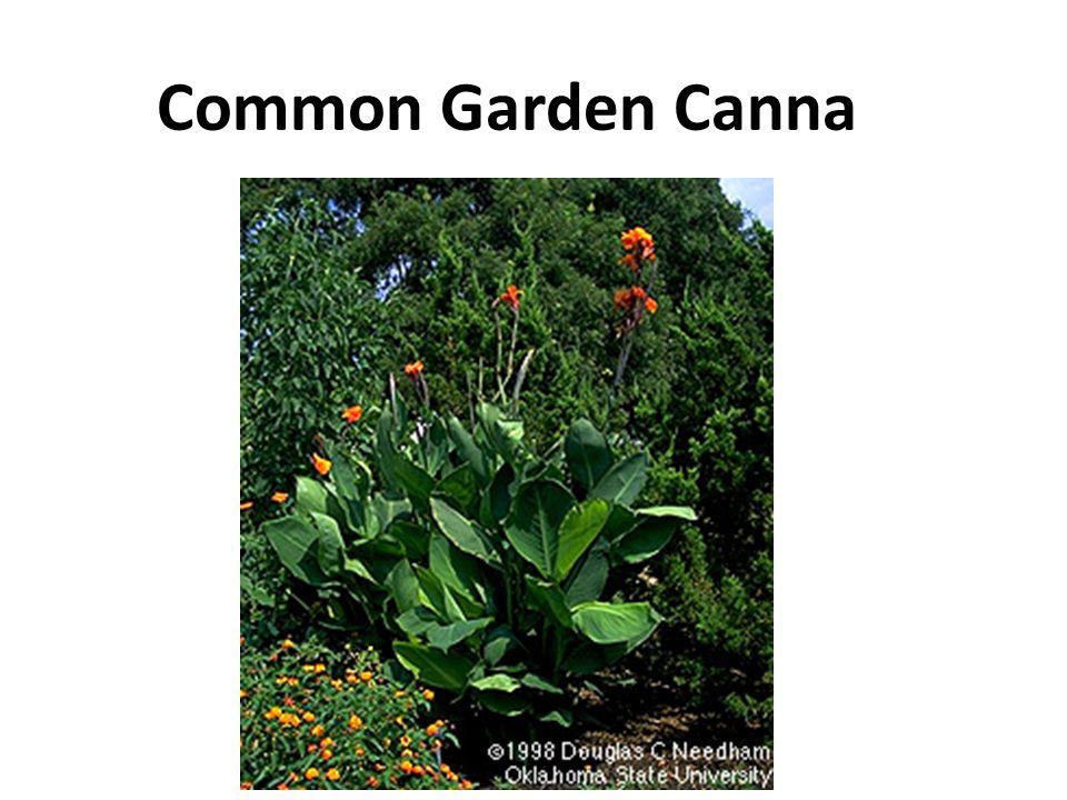 Common Garden Canna