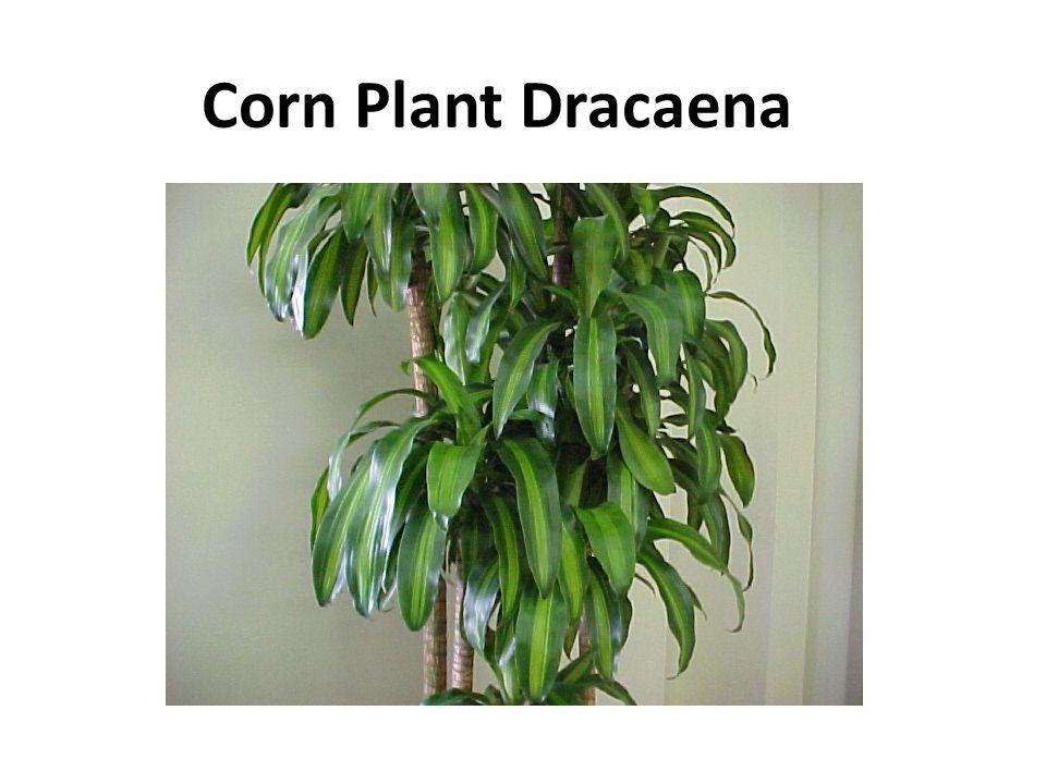 Corn Plant Dracaena