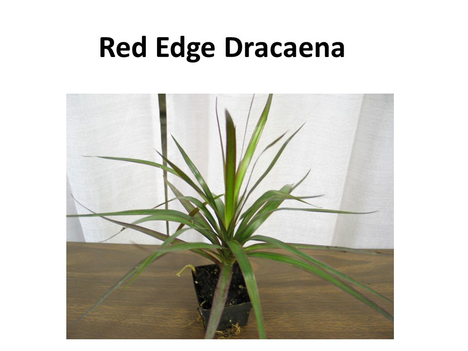 Red Edge Dracaena
