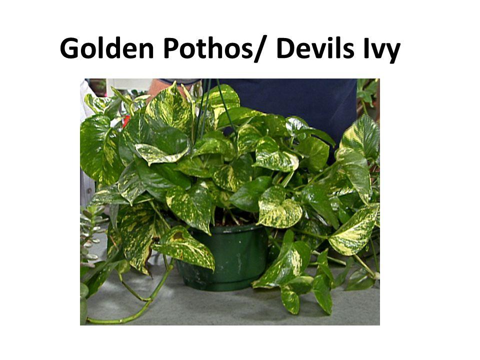 Golden Pothos/ Devils Ivy