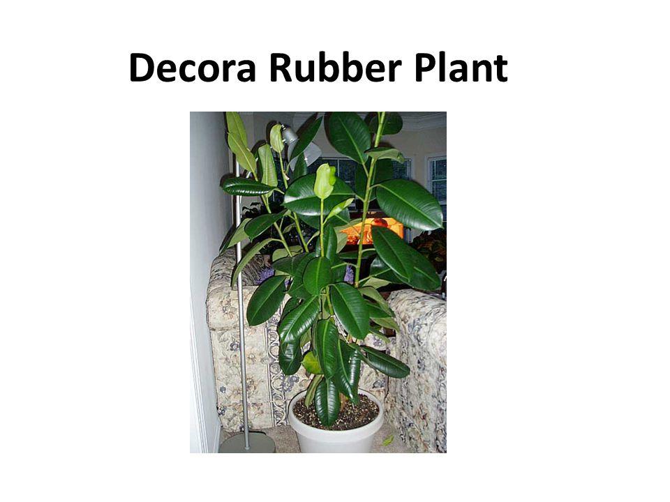 Decora Rubber Plant