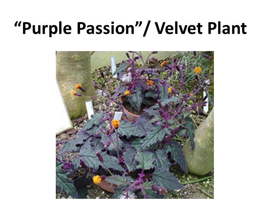 Purple Passion / Velvet Plant