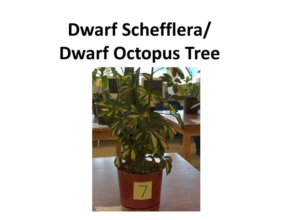 Dwarf Schefflera/ Dwarf Octopus Tree