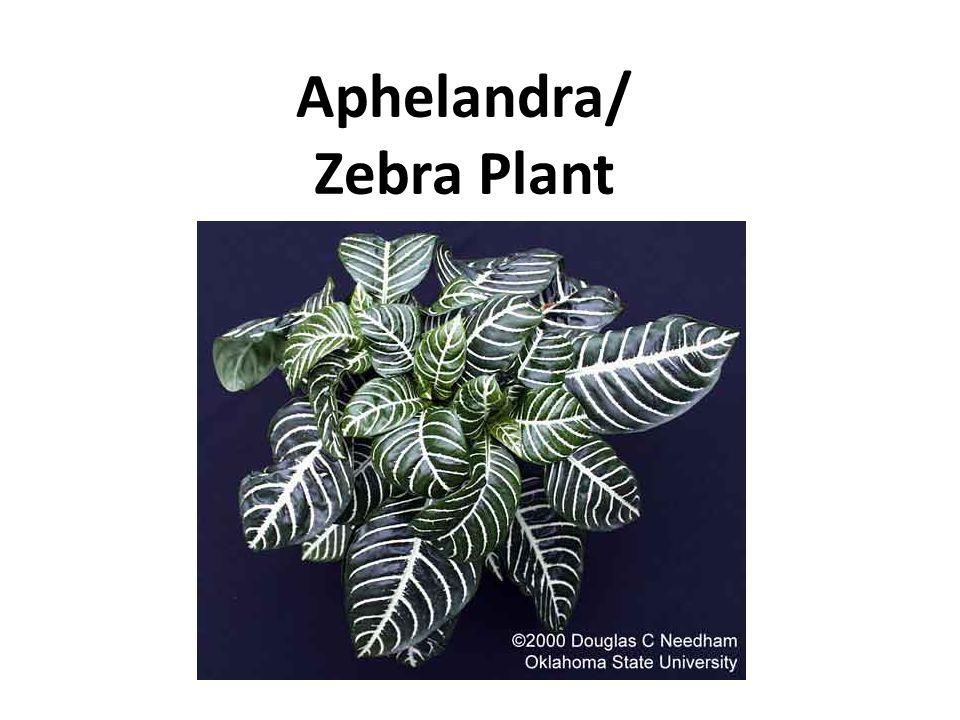 Aphelandra/ Zebra Plant