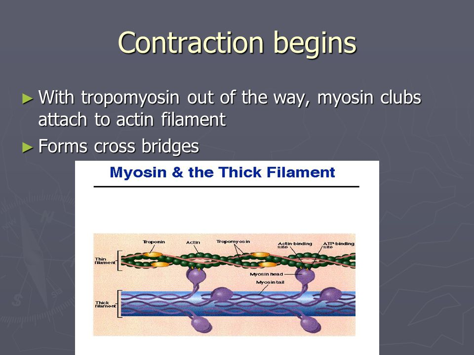 Contraction begins ► With tropomyosin out of the way, myosin clubs attach to actin filament ► Forms cross bridges