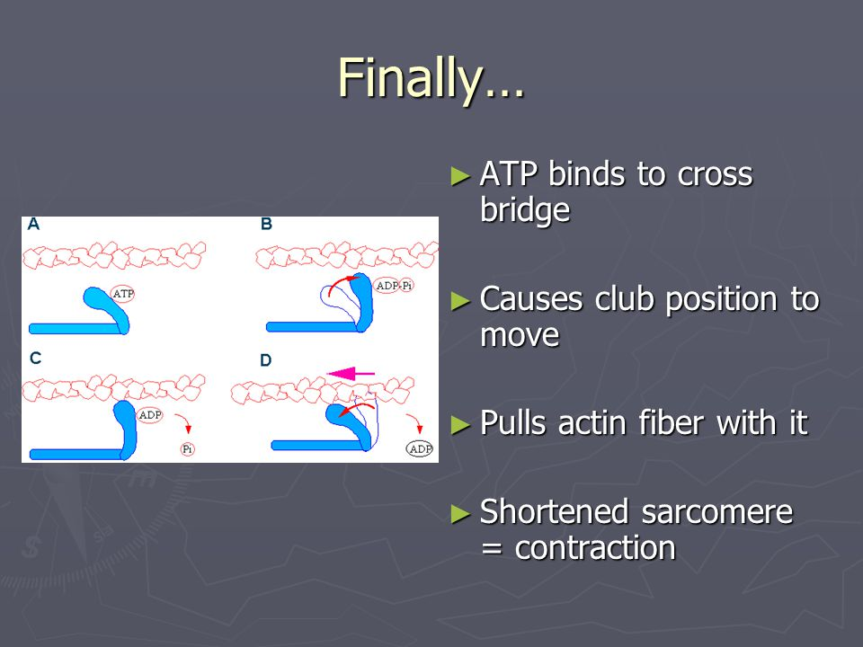 Finally… ► ATP binds to cross bridge ► Causes club position to move ► Pulls actin fiber with it ► Shortened sarcomere = contraction