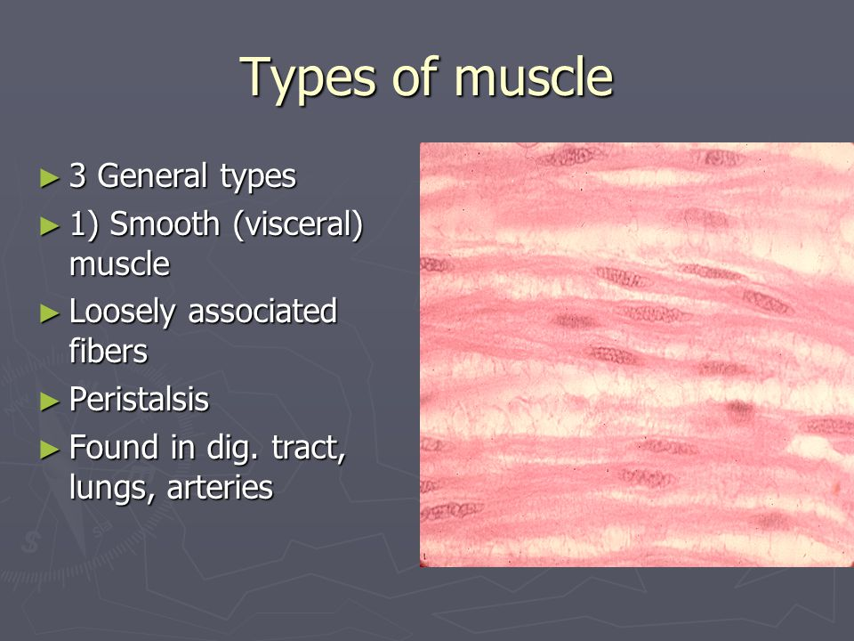Types of muscle ► 3 General types ► 1) Smooth (visceral) muscle ► Loosely associated fibers ► Peristalsis ► Found in dig. tract, lungs, arteries