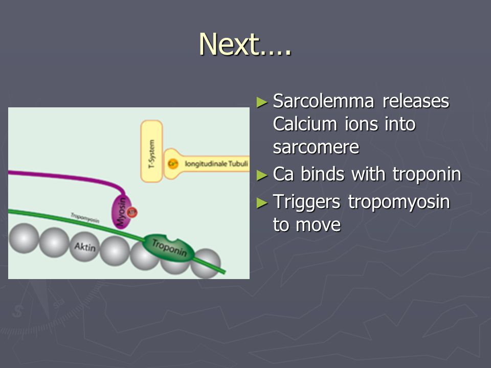 Next…. ► Sarcolemma releases Calcium ions into sarcomere ► Ca binds with troponin ► Triggers tropomyosin to move