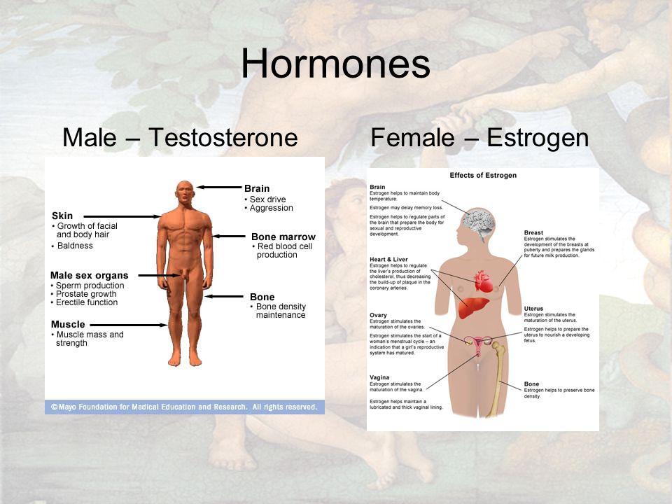 Hormones Male – Testosterone Female – Estrogen