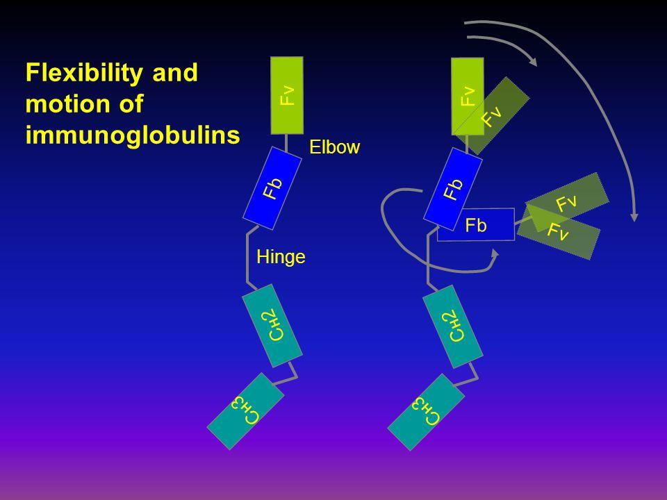 Fb Fv CH3CH3 CH2CH2 Fb Fv Hinge Elbow CH3CH3 CH2CH2 Fb Fv Flexibility and motion of immunoglobulins
