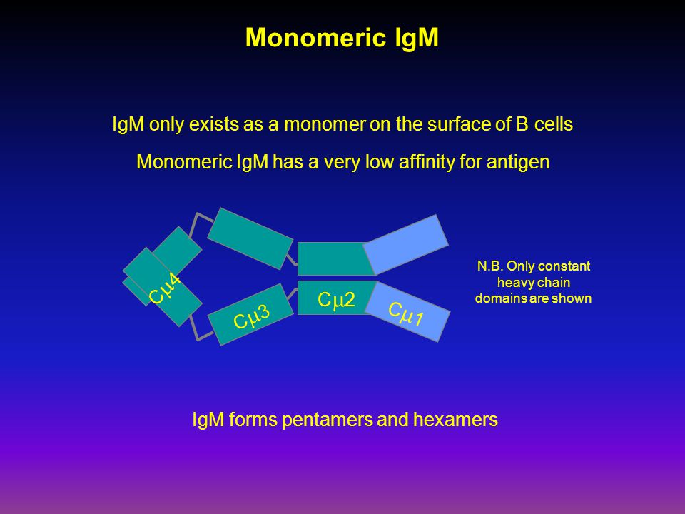 Monomeric IgM IgM only exists as a monomer on the surface of B cells Monomeric IgM has a very low affinity for antigen C4C4 C3C3 C2C2 C1C1 N.B.