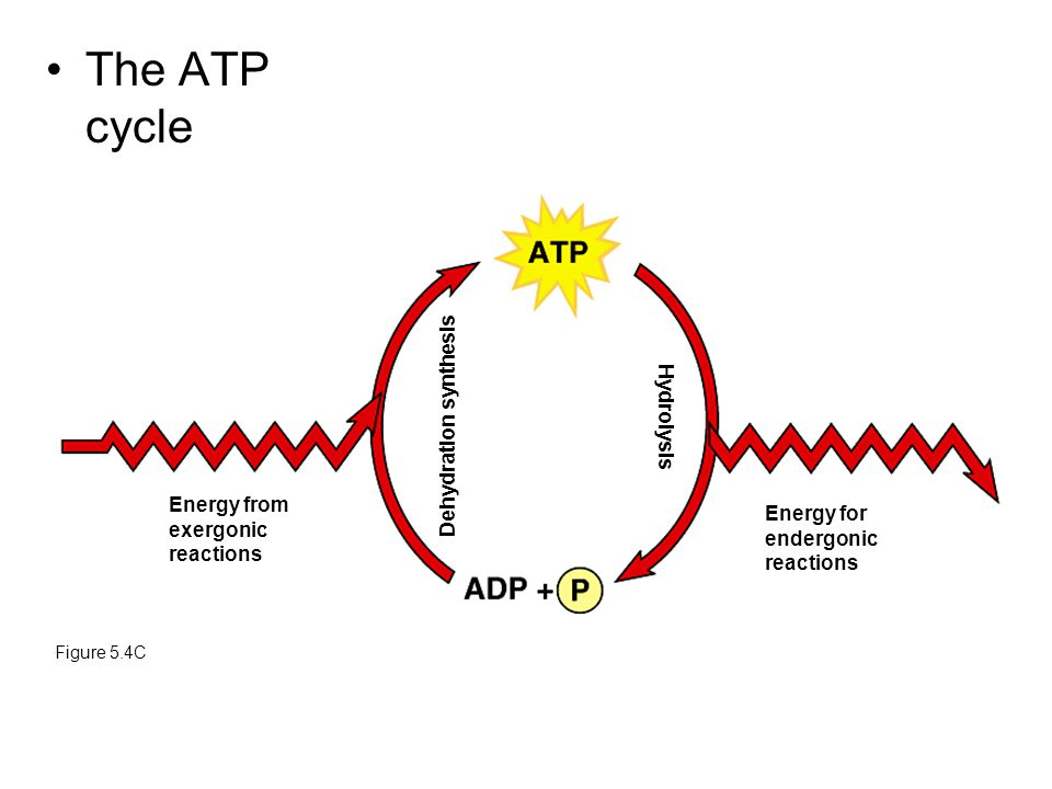 The ATP cycle Figure 5.4C Energy from exergonic reactions Dehydration synthesis Hydrolysis Energy for endergonic reactions