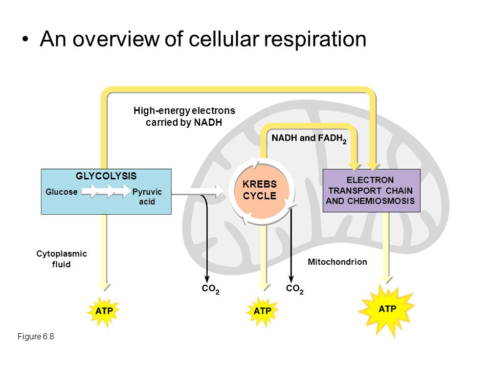 An overview of cellular respiration Figure 6.8 High-energy electrons carried by NADH GLYCOLYSIS GlucosePyruvic acid KREBS CYCLE ELECTRON TRANSPORT CHA