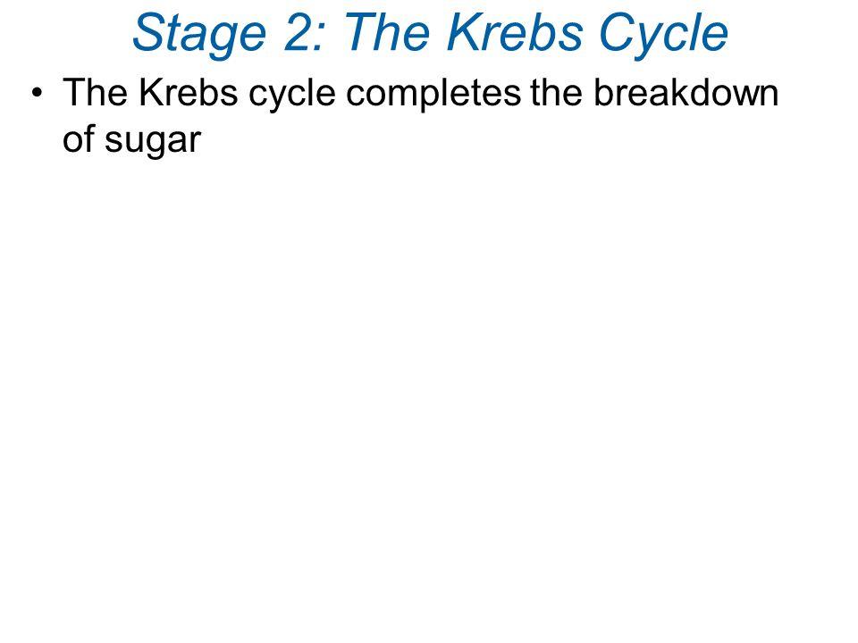Stage 2: The Krebs Cycle The Krebs cycle completes the breakdown of sugar