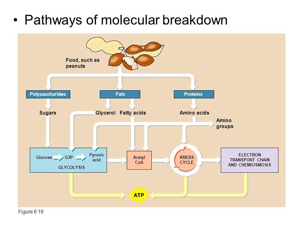 Pathways of molecular breakdown Figure 6.16 Food, such as peanuts PolysaccharidesFatsProteins SugarsGlycerolFatty acidsAmino acids Amino groups Glucos