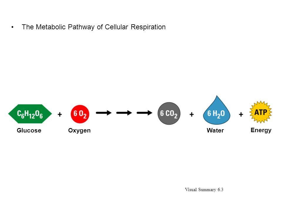 The Metabolic Pathway of Cellular Respiration Visual Summary 6.3 GlucoseOxygenWater Energy