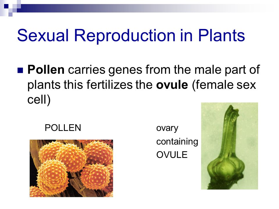 Sexual Reproduction in Plants Pollen carries genes from the male part of plants this fertilizes the ovule (female sex cell) POLLENovary containing OVU