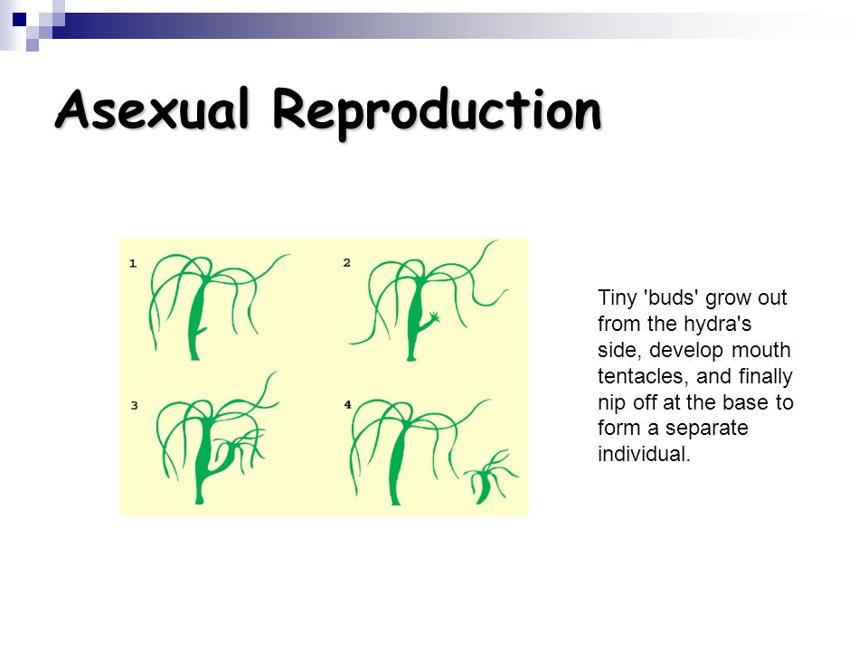 Asexual Reproduction Tiny 'buds' grow out from the hydra's side, develop mouth tentacles, and finally nip off at the base to form a separate individua