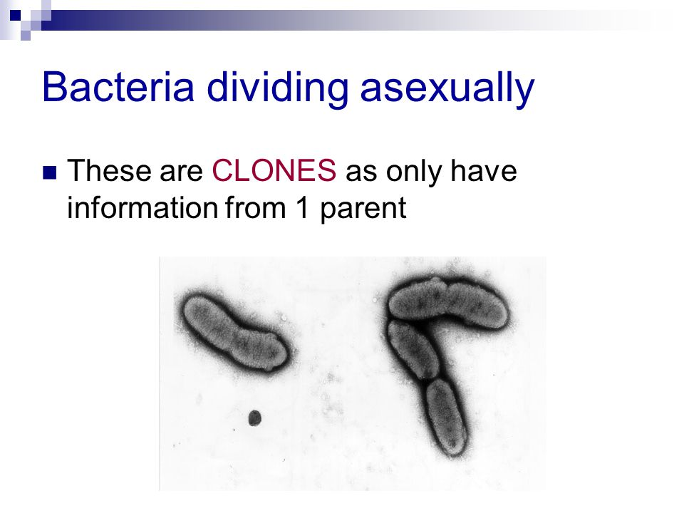 Bacteria dividing asexually These are CLONES as only have information from 1 parent