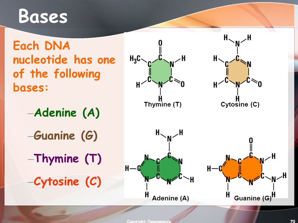70 Bases Each DNA nucleotide has one of the following bases: Thymine (T)Cytosine (C) Adenine (A)Guanine (G) – Adenine (A) – Guanine (G) – Thymine (T) – Cytosine (C) Copyright Cmassengale