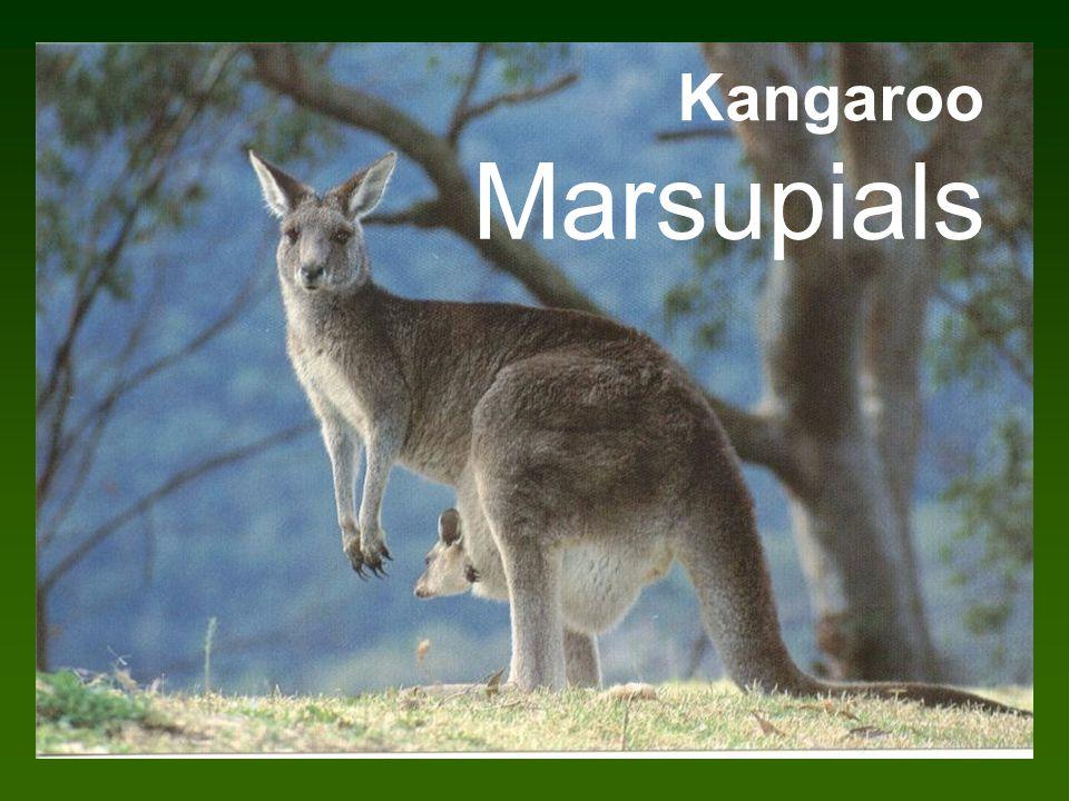 Kangaroo Marsupials