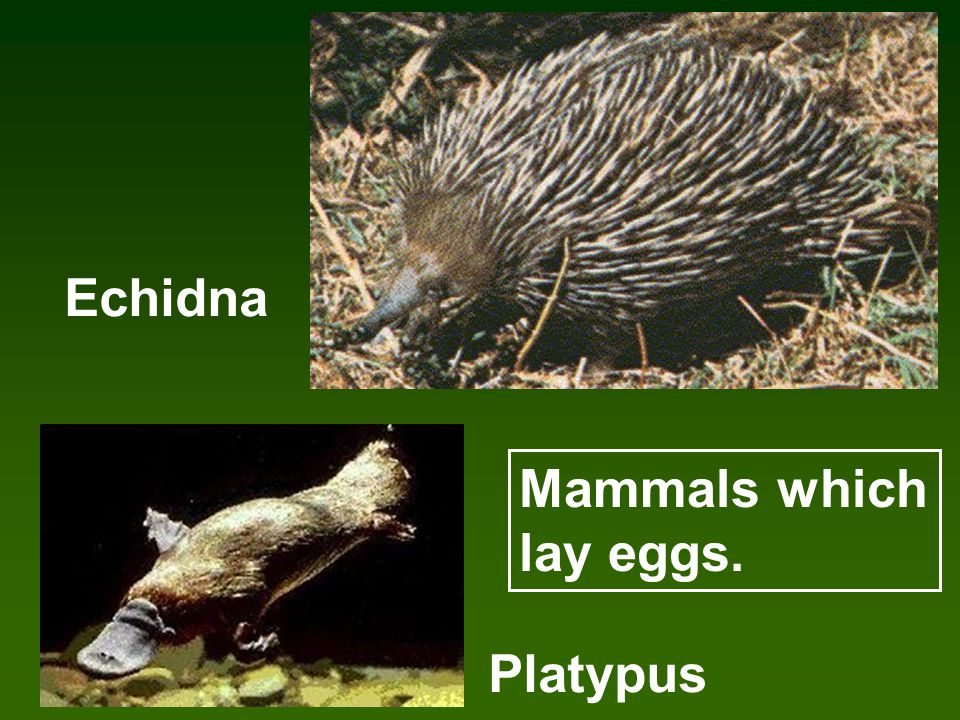 Echidna Platypus Mammals which lay eggs.