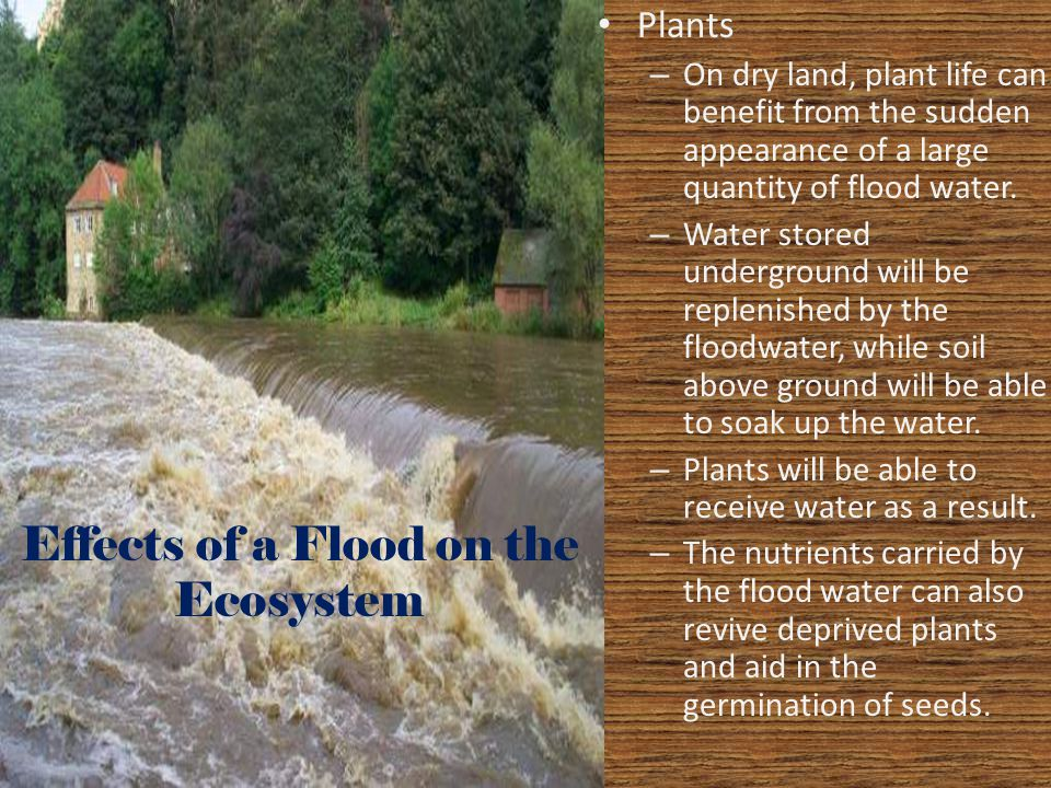 Effects of a Flood on the Ecosystem Plants – On dry land, plant life can benefit from the sudden appearance of a large quantity of flood water. – Wate